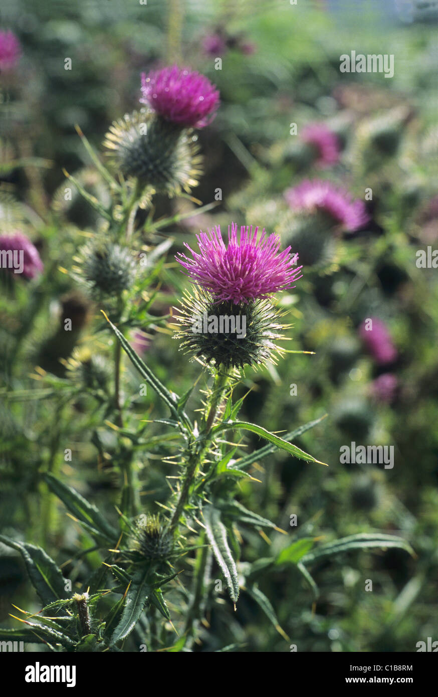scottish thistle in full bloom growing wild stock photo royalty