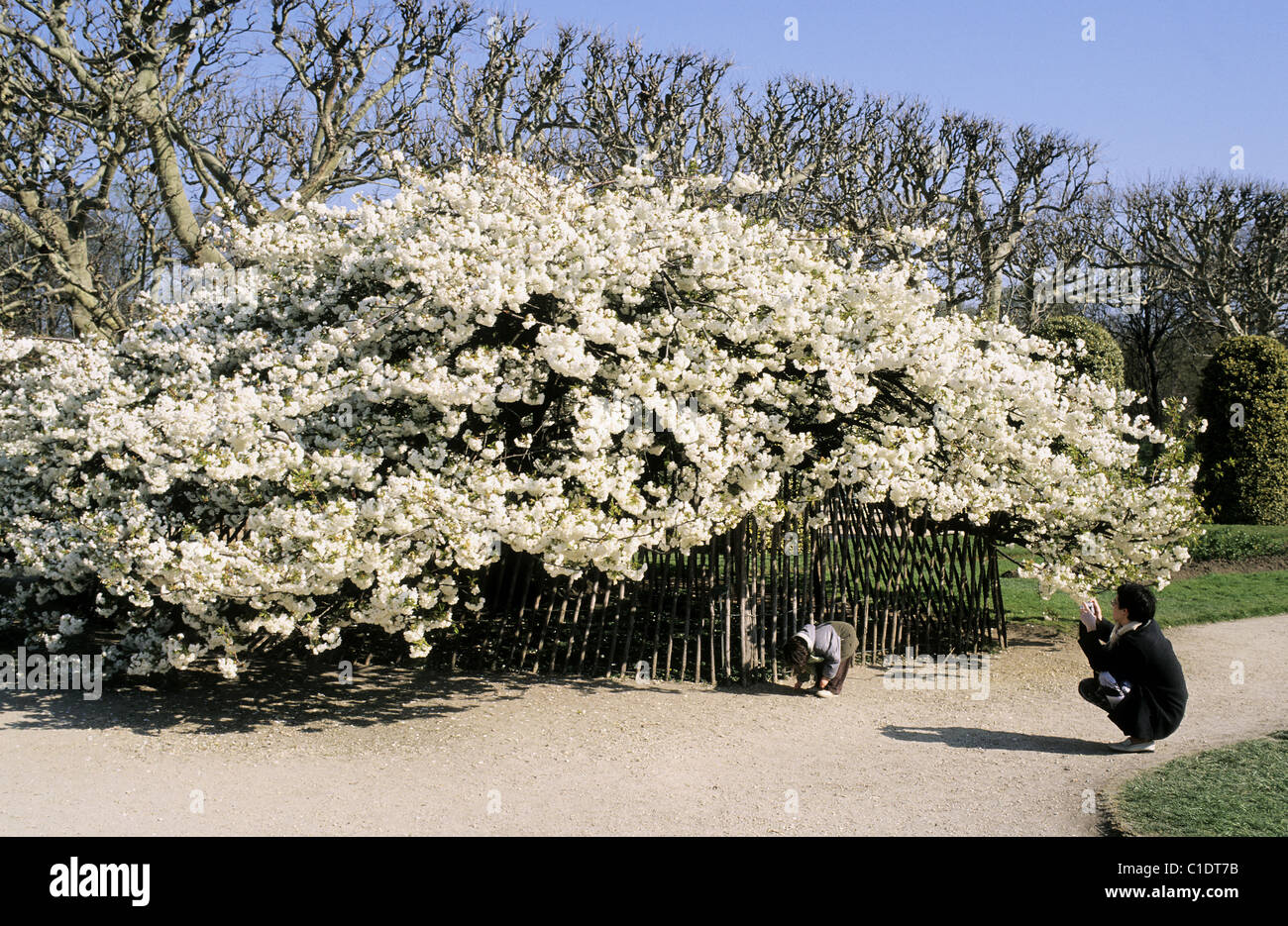 France paris cherry tree in blossom at the jardin des for Paris jardin plantes