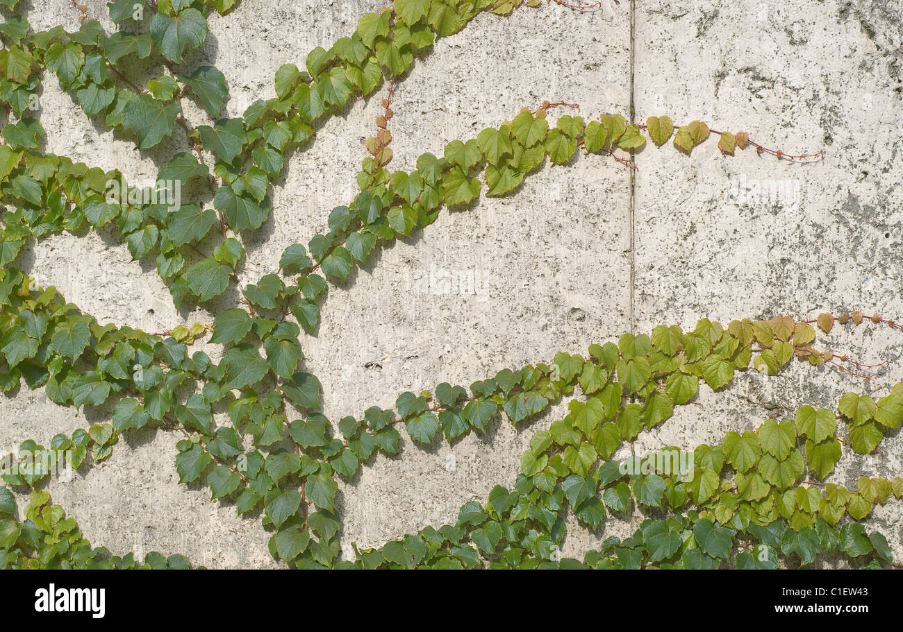 Climbing vines of ivy on a house stock photo royalty free image climbing vines of ivy on a house publicscrutiny Choice Image