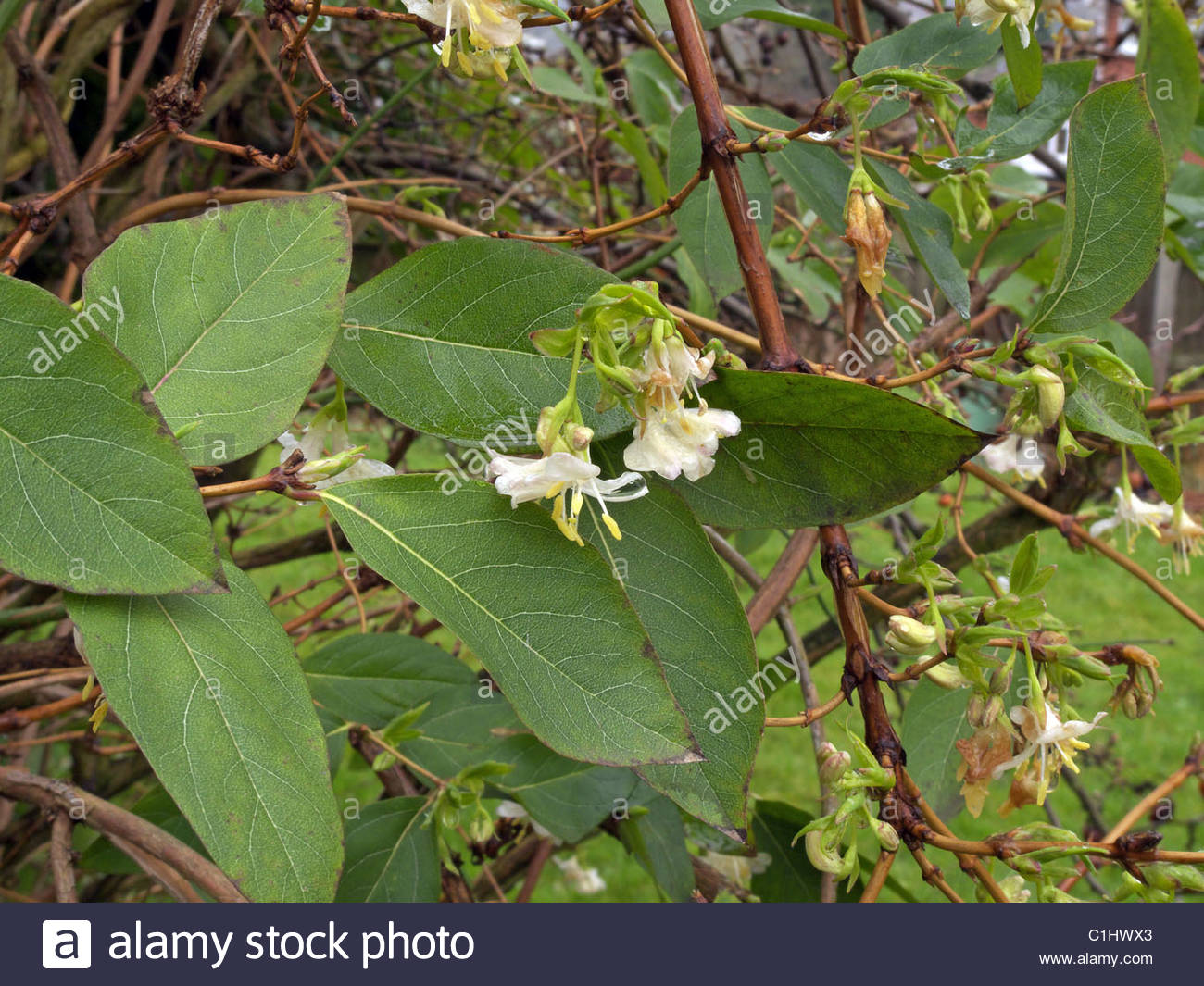winter flowering shrub honeysuckle lonicera x purpusii. Black Bedroom Furniture Sets. Home Design Ideas