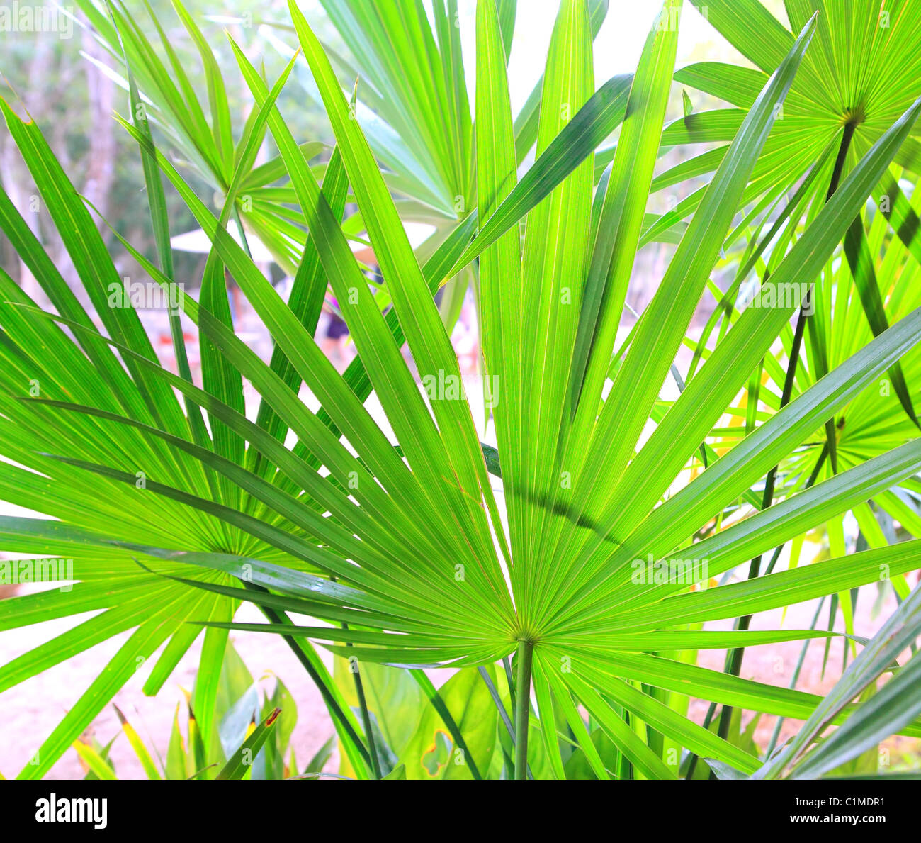 chit palm tree leaves in yucatan rainforest mexico central america