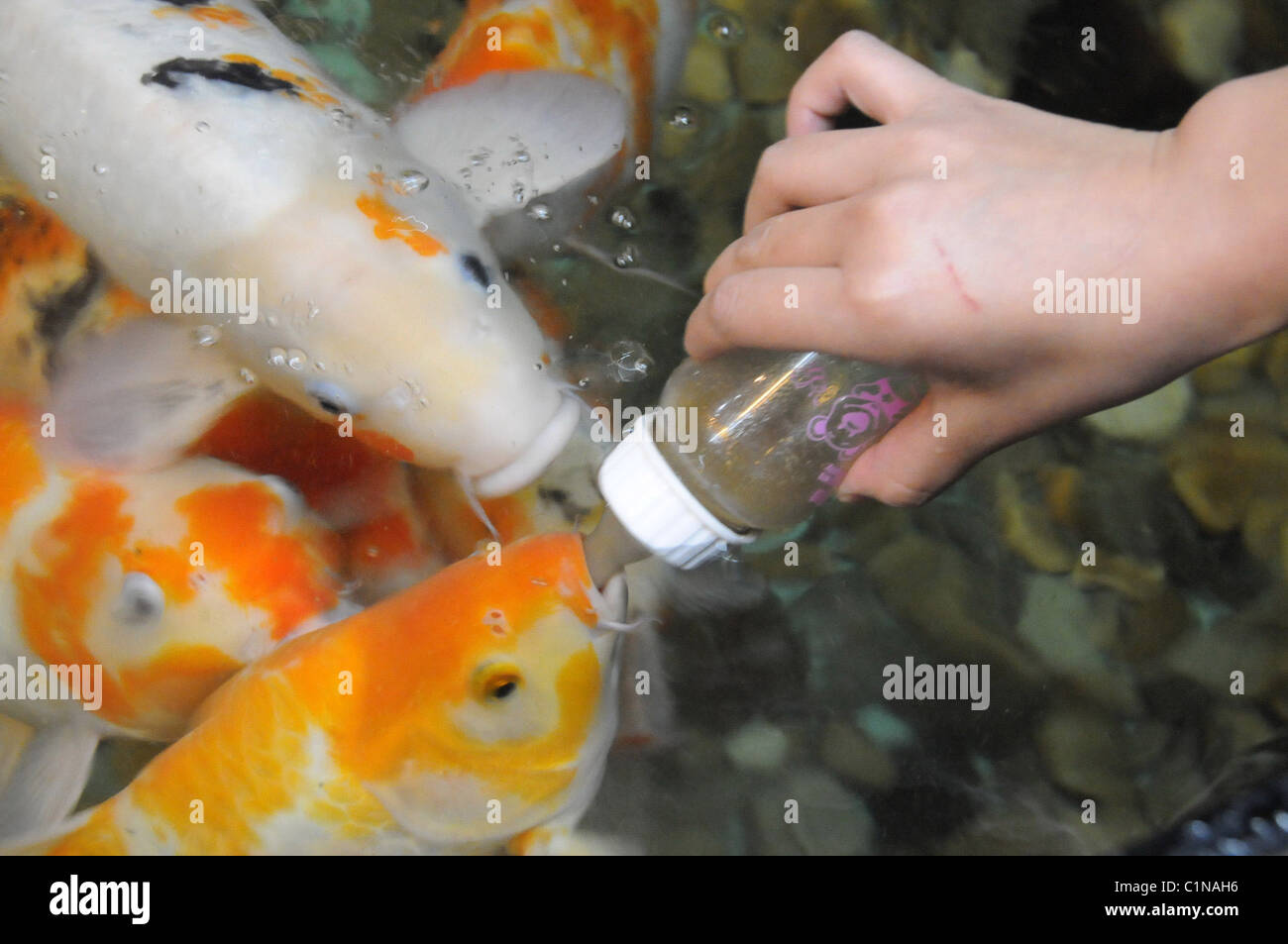 The most pampered fish in the world these expensive and for Rare koi fish