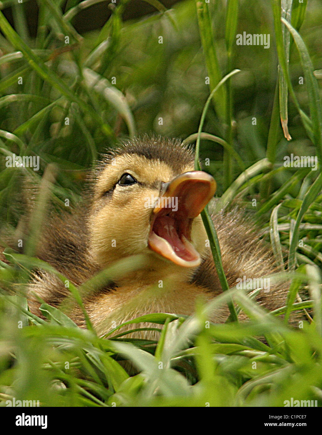 picture of a mallard duckling with open mouth taken near tring