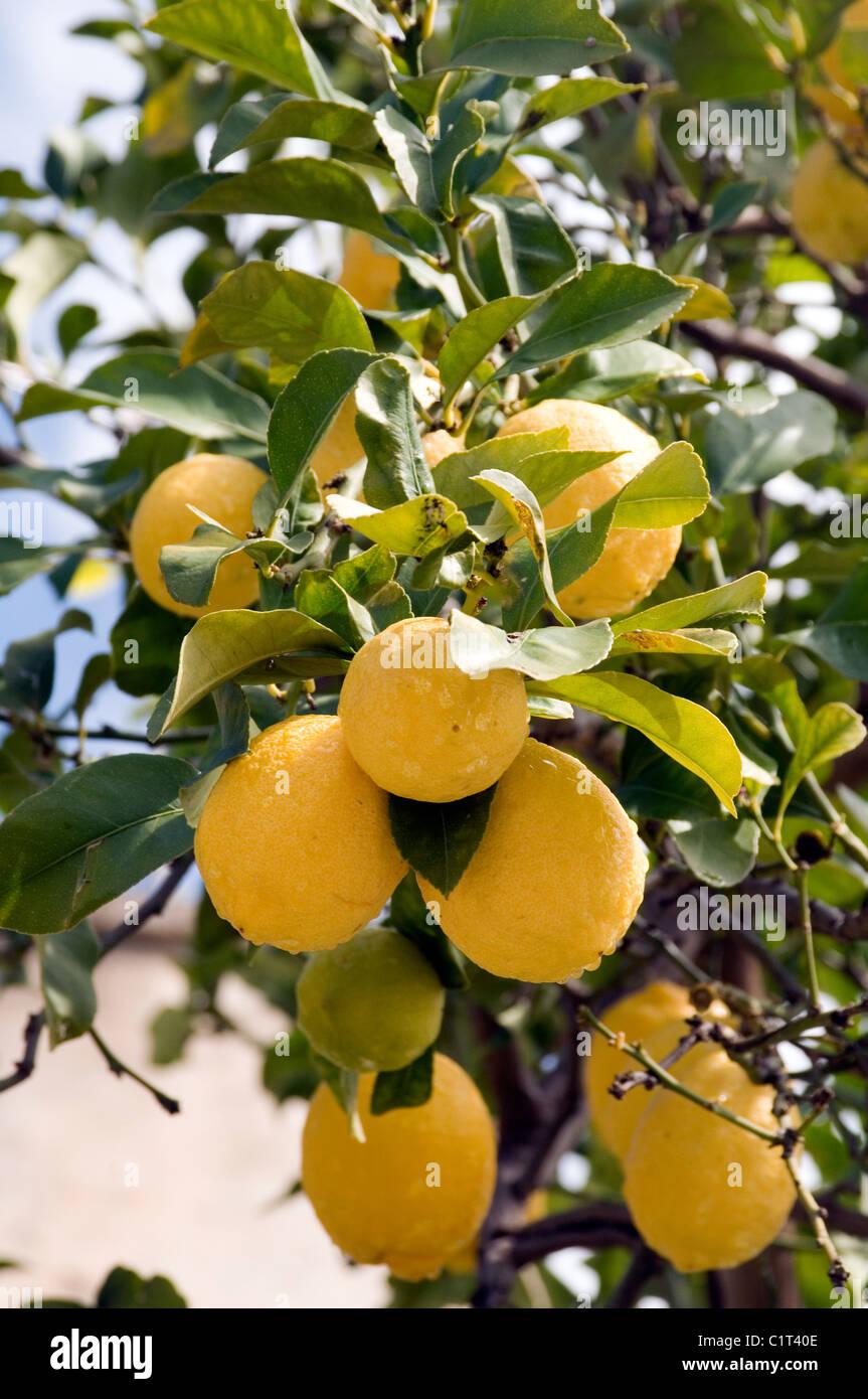 lemon tree planting instructions
