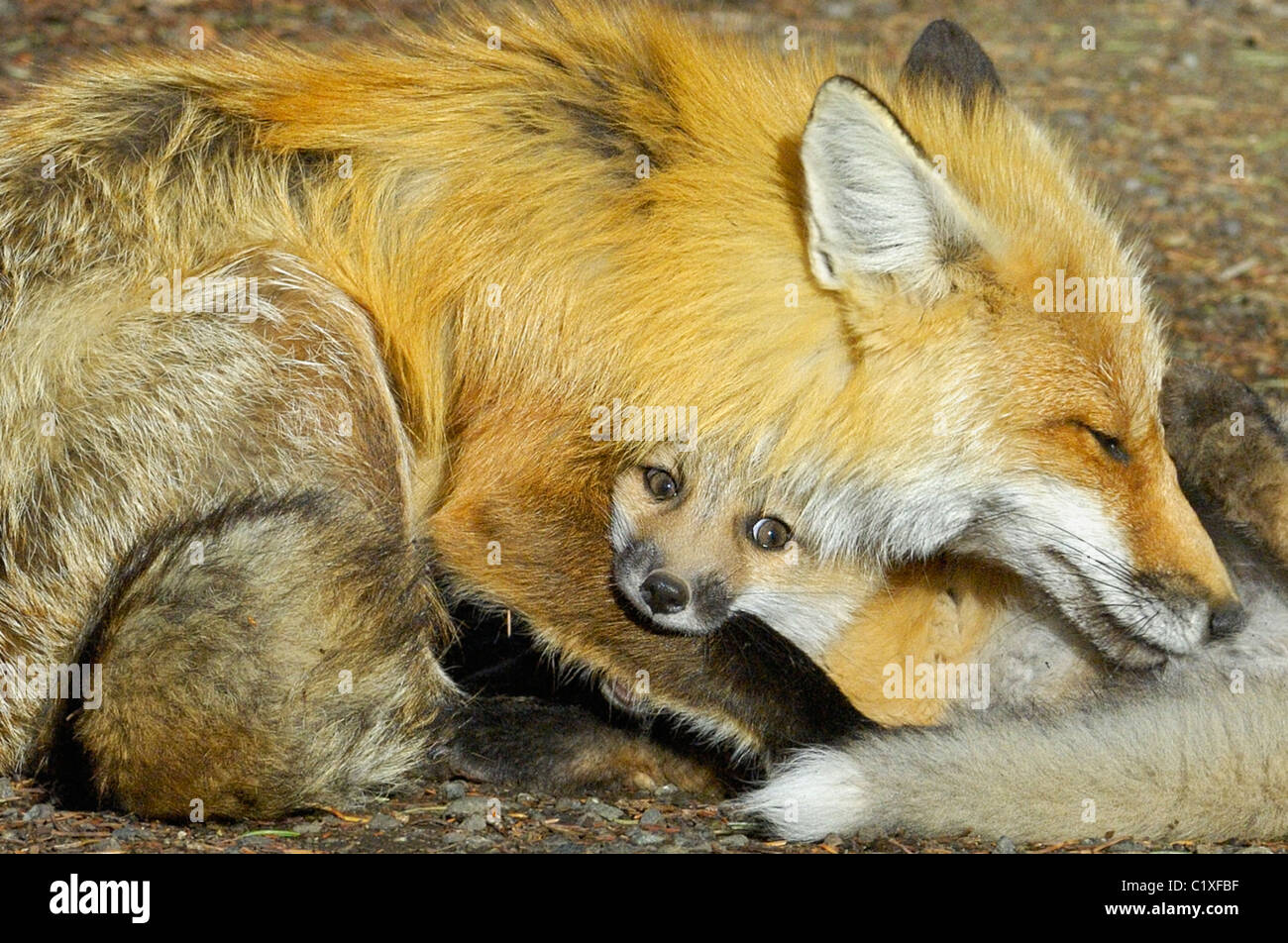 Red Fox Mother Nursing Kits Royalty Free Stock Images - Image ...