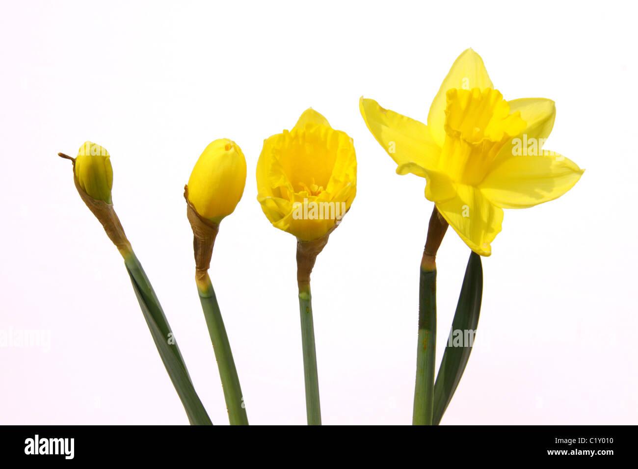 about daffodil flower u2013 fiori idea immagine
