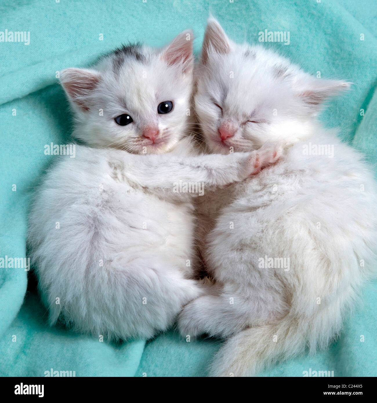 CUTE white kittens sleeping to her Stock Royalty Free