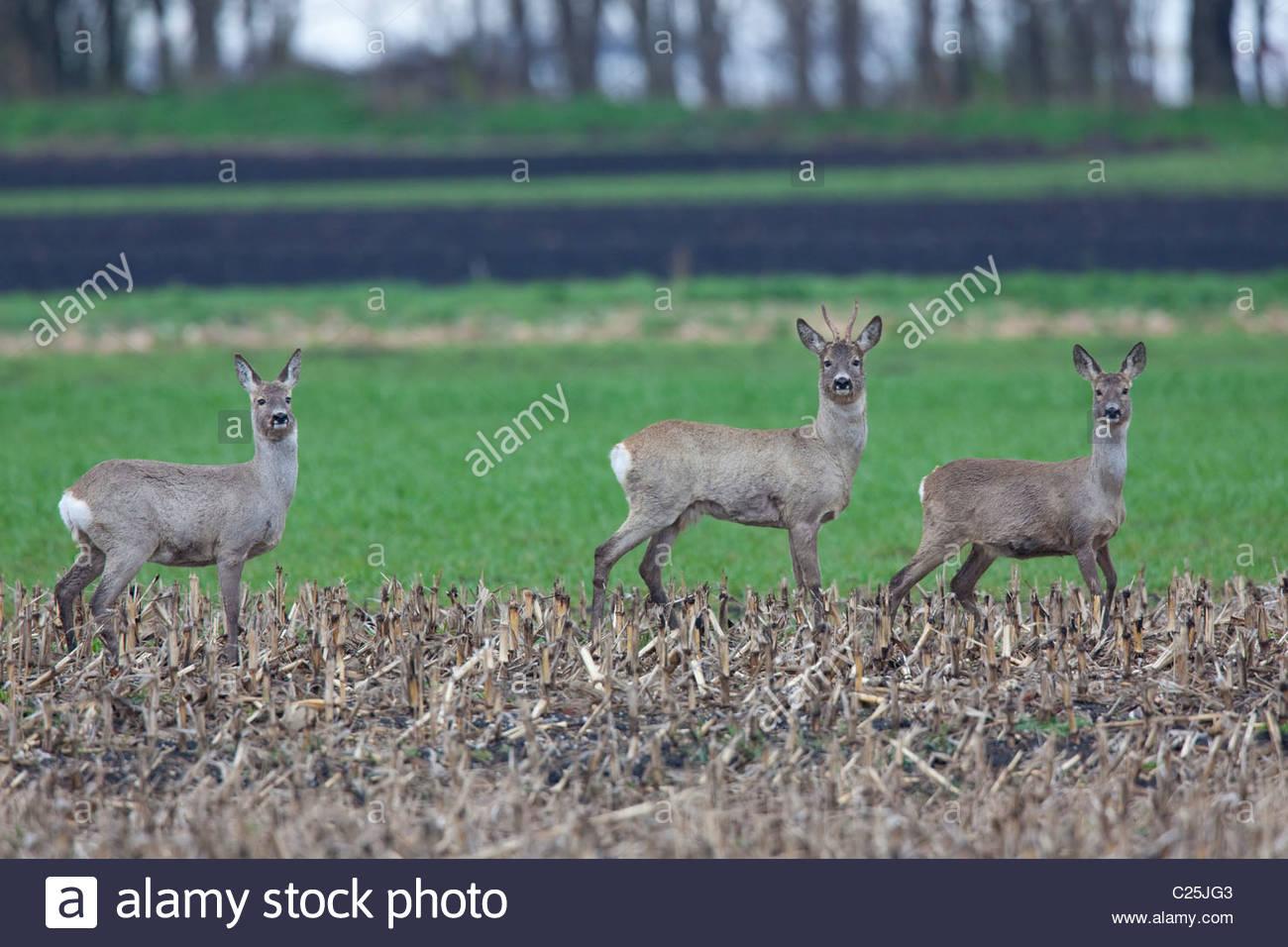 roe-deer-C25JG3.jpg