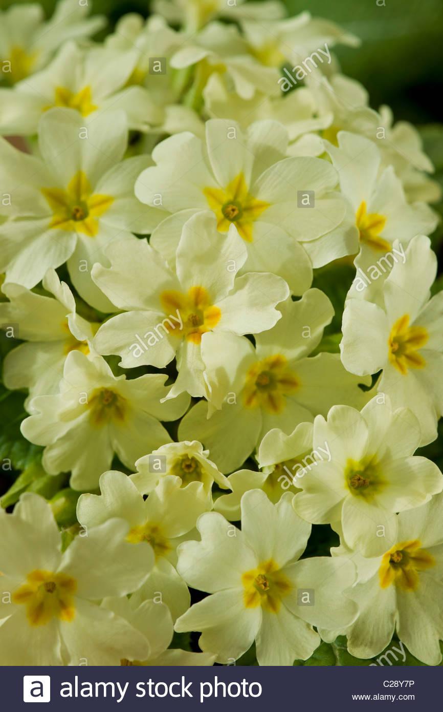 English Primrose Garden english primrose primula vulgaris spring shade ...