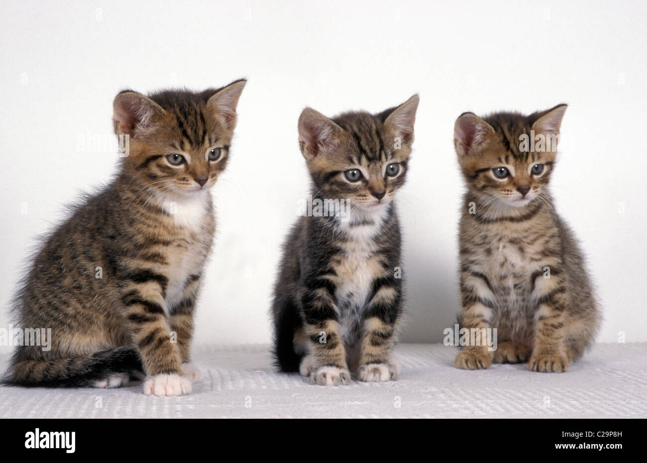 portrait row of three cute tabby kittens on white background Stock