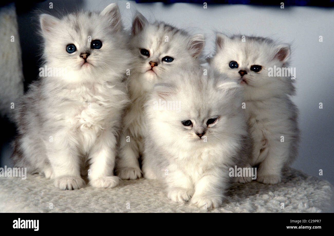 litter of silver spotted persian kittens Stock Royalty Free