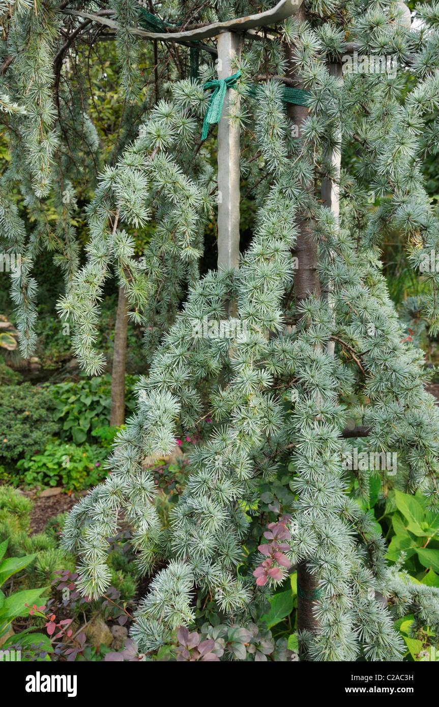 Deodar Cedar Tree Varieties ~ Weeping himalayan cedar cedrus deodara pendula stock