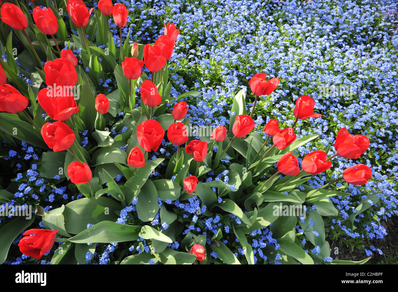 Name of red flowers tulip beautiful red pansies look at the great red tulips latin name tulipa and tiny blue flowers forget me not latin name myosotis izmirmasajfo Images