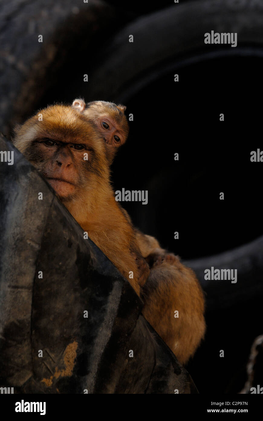 adult barbary macaque sitting behind tire in gibraltars rubbish dump