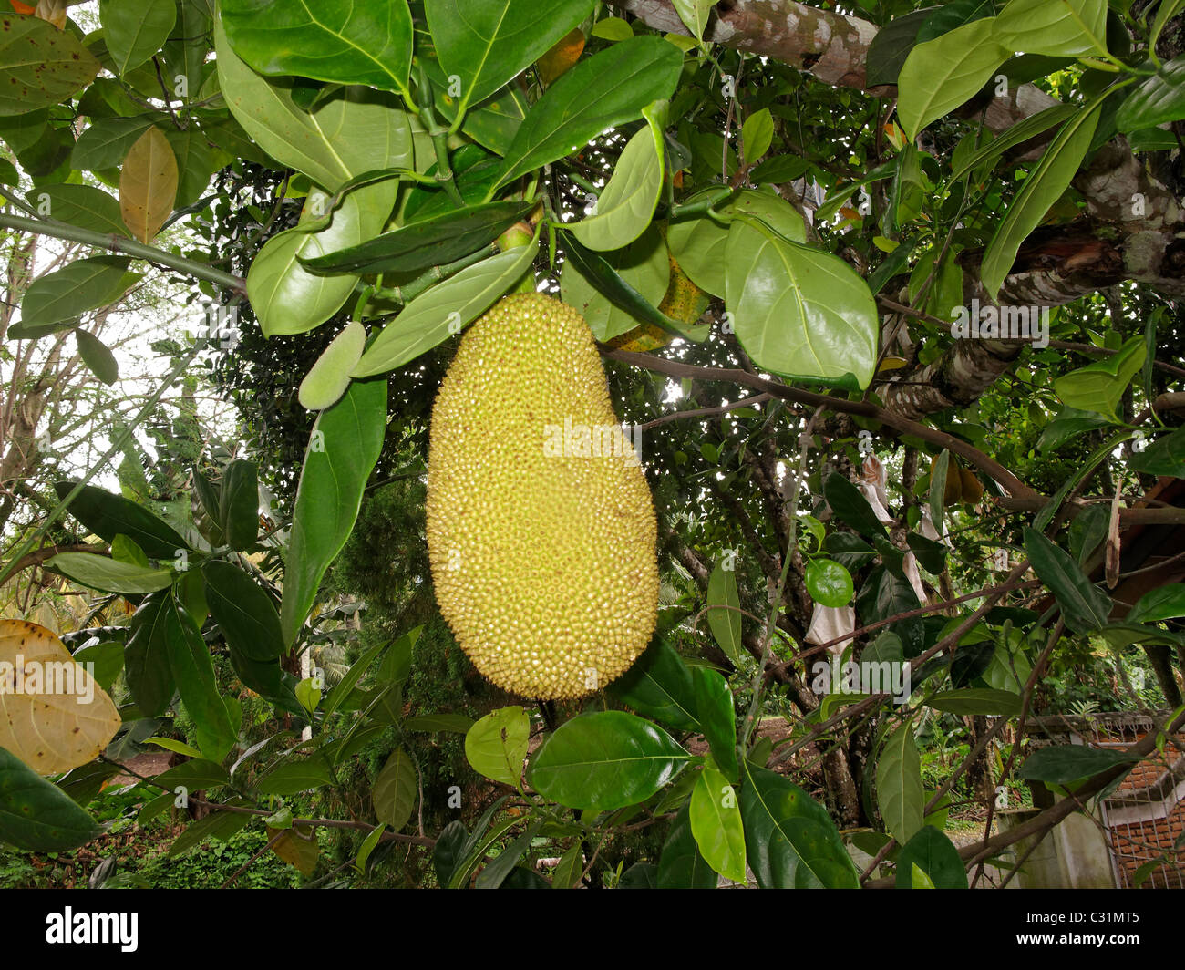 jackfruit largest tree borne fruit An official announcement on giving the largest tree borne fruit that is known   the aim is to promote the 'kerala jackfruit' as a brand in markets.