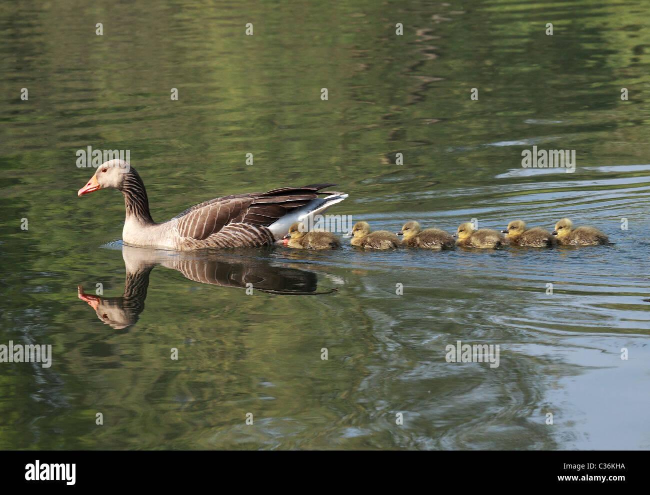 Greylag_goose_family_Milton_Cambridgeshi