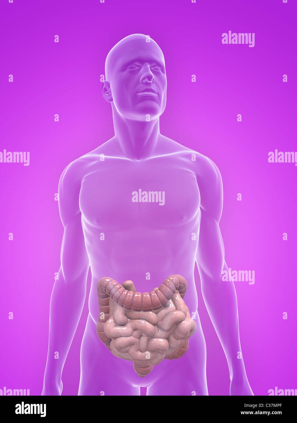 Human Small Intestines And Colon Stock Photo Royalty Free Image