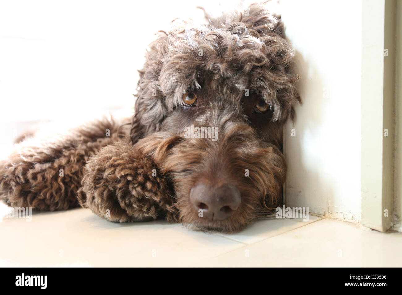 Chocolate brown Labradoodle Portuguese Water Dog Stock Photo ...