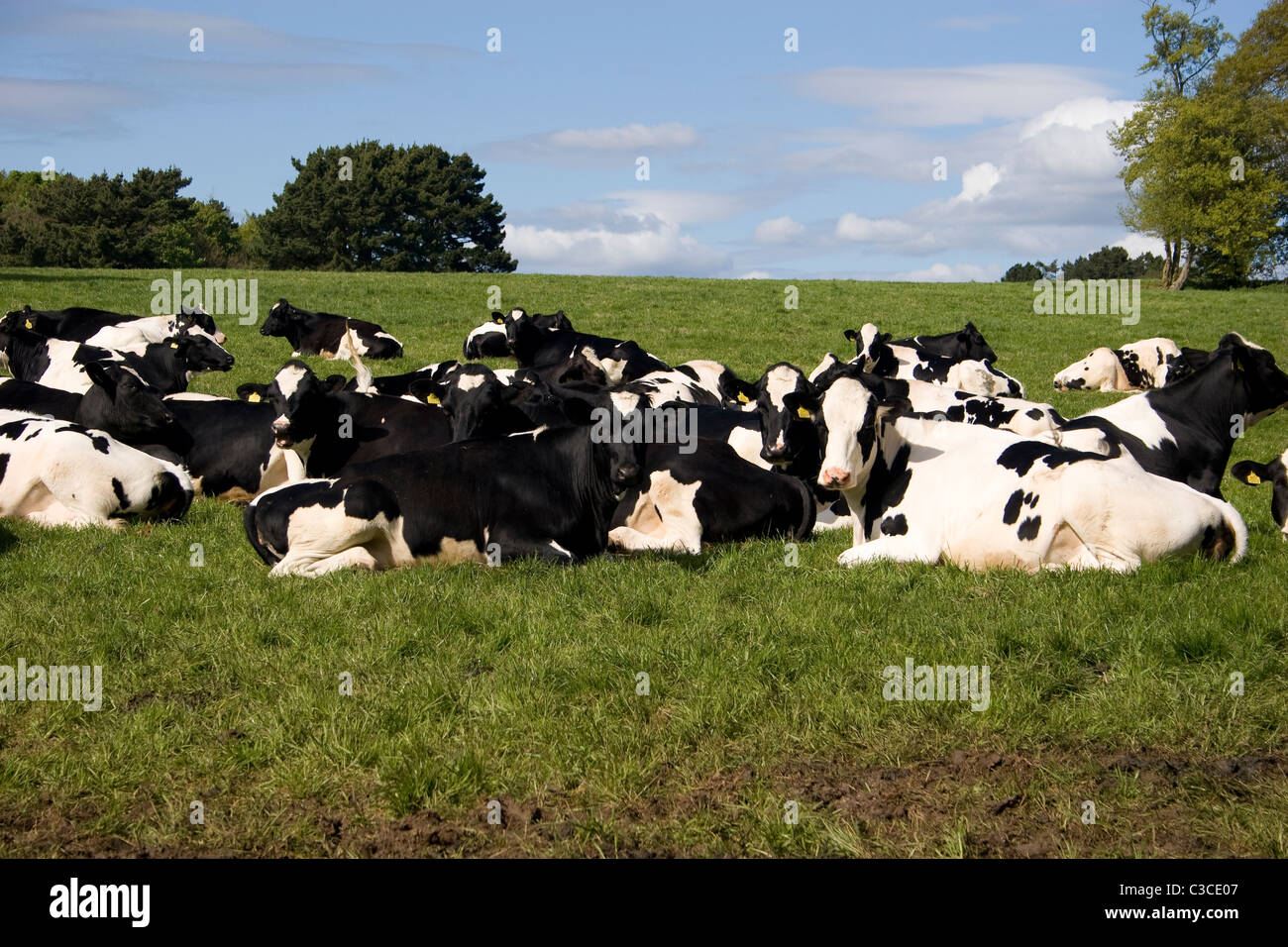cows sitting stock photos u0026 cows sitting stock images alamy