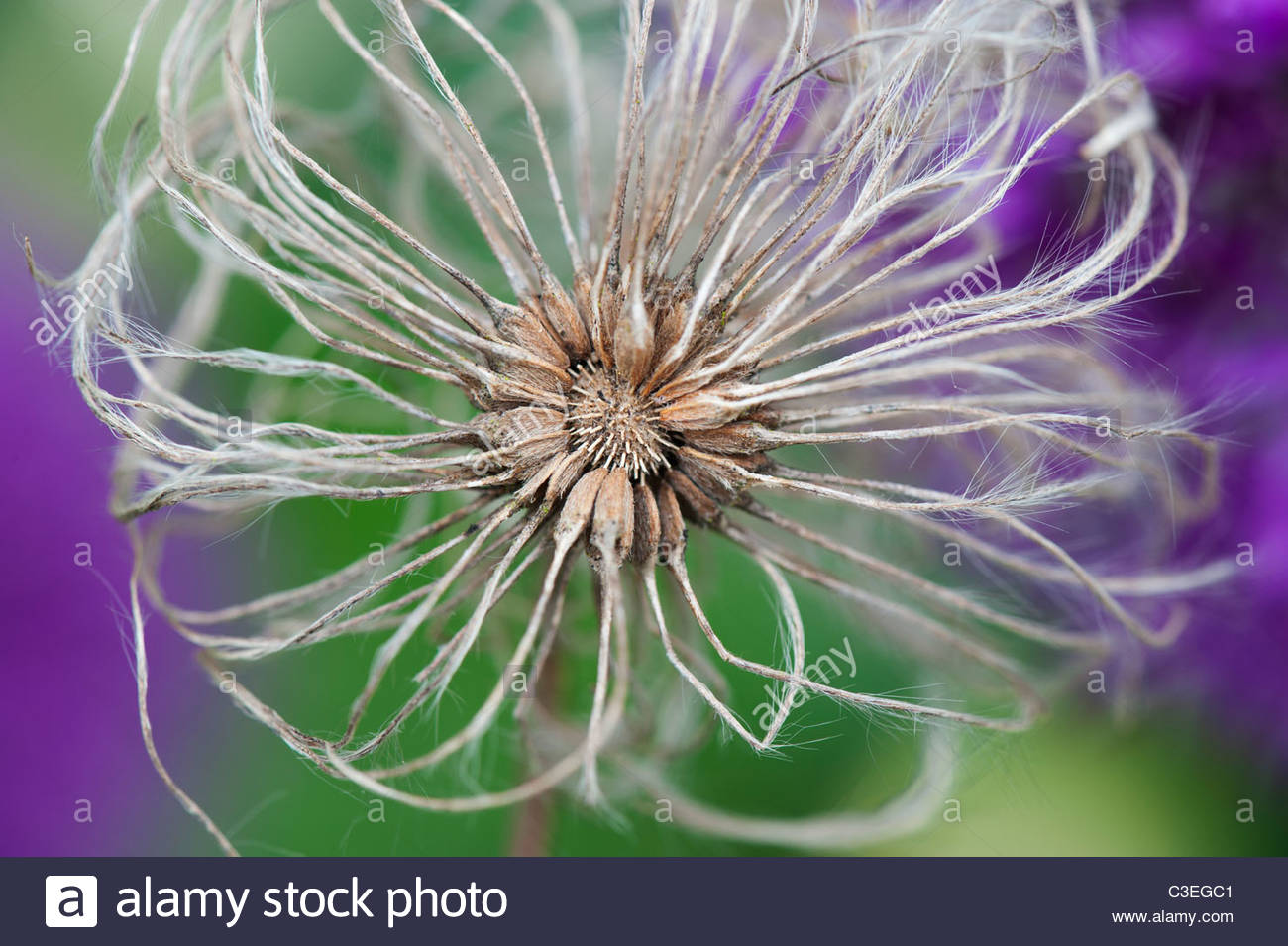 Clematis Boulevard flower seed head against purple allium flower Stock
