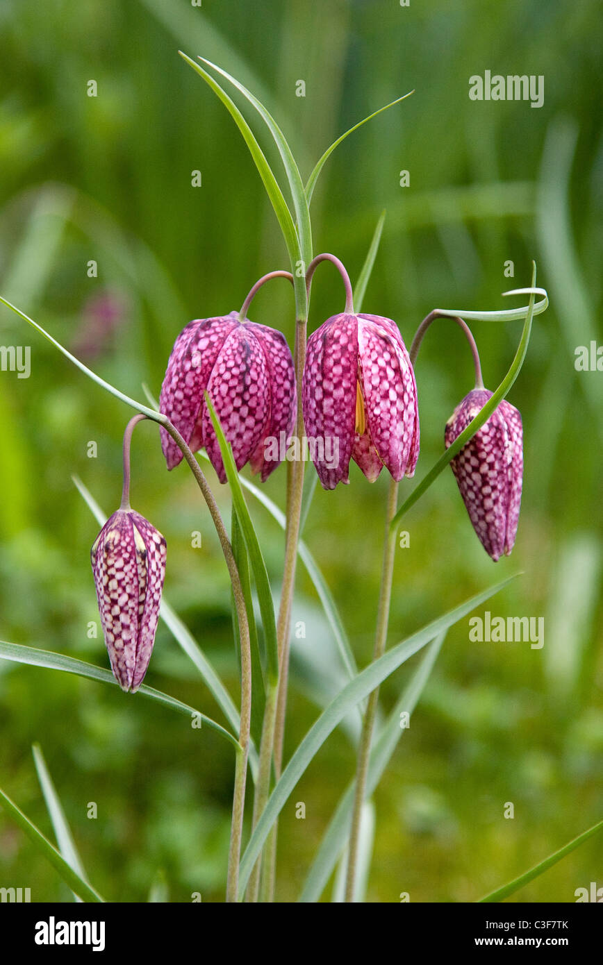 Drooping chequered heads of Snakes Head Fritillary flowers ...