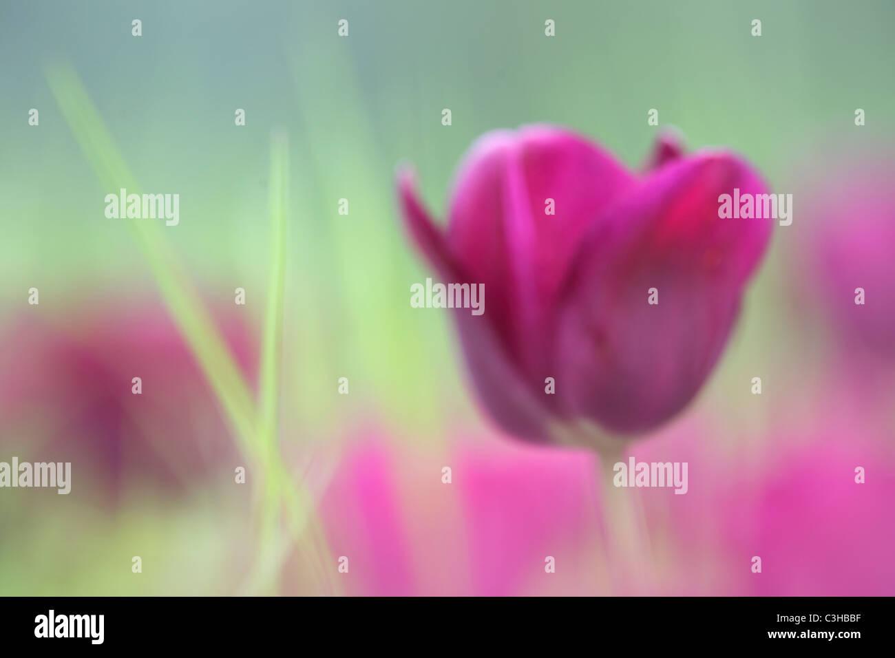 Tulpen, Tulipa-Hybriden, Feld, Tulipa, Tulips, field, Insel Mainau Stockfoto, Lizenzfreies Bild ...