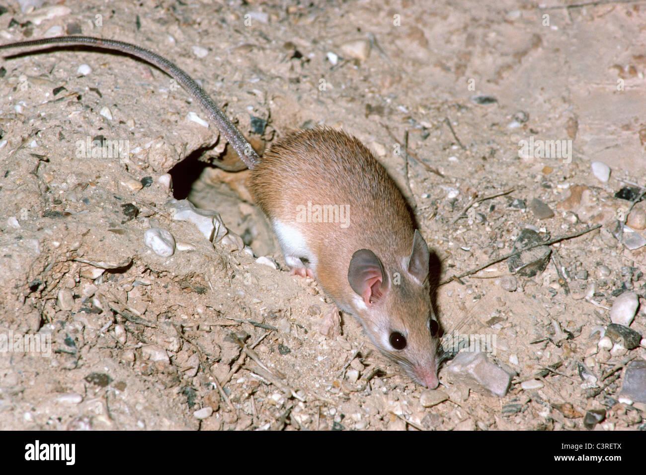 deer mouse, Peromyscus maniculatus (Rodentia: Muridae) - 2133024