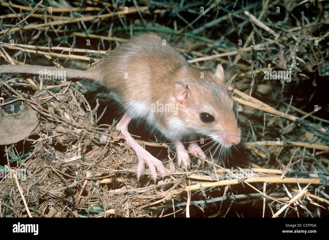 Muridae - Mice -- Discover Life