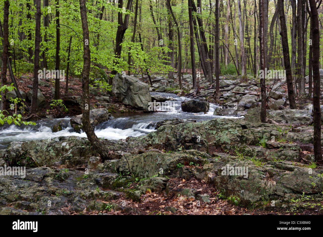Spring in the forest of upstate New York with young green leaves ...