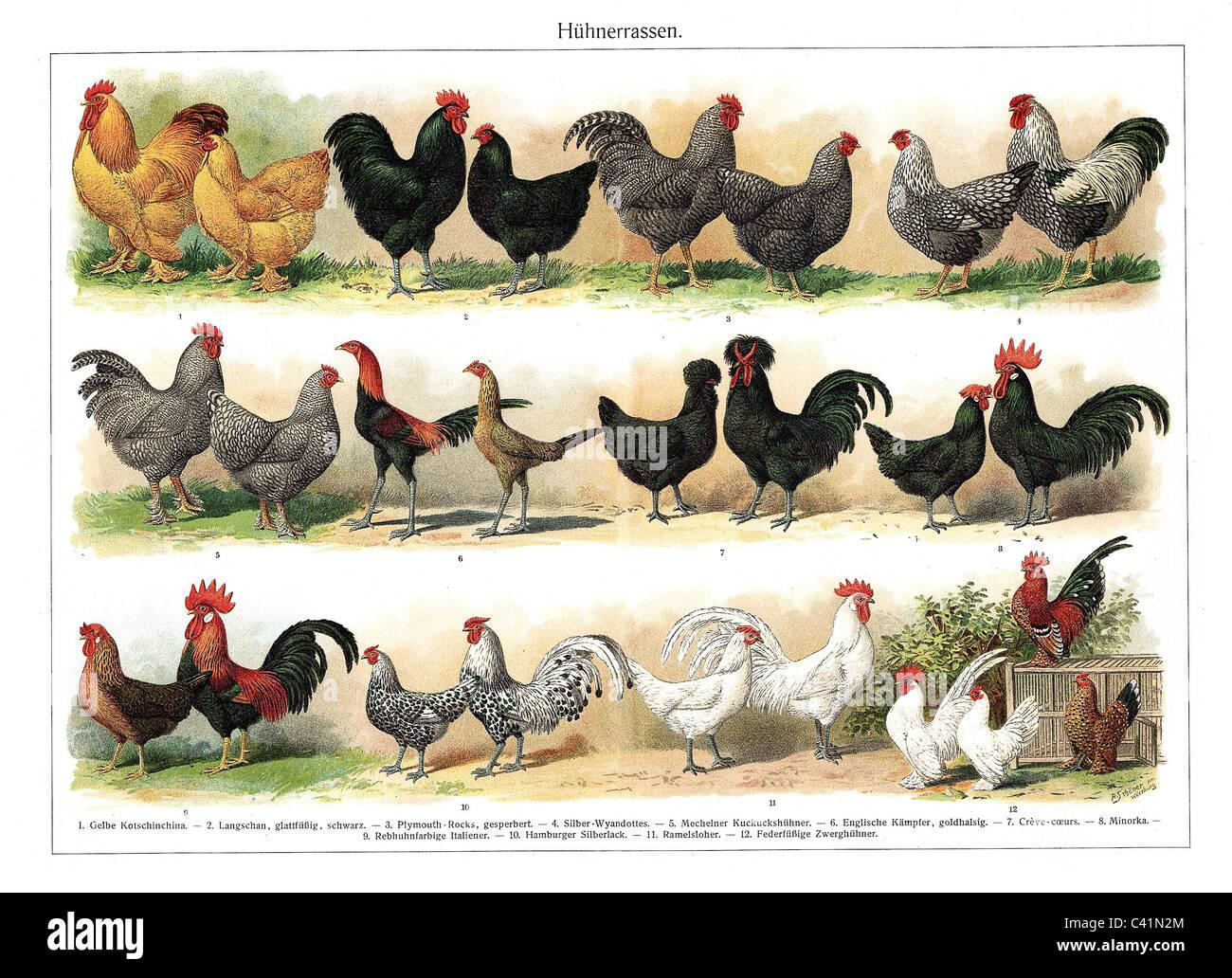 Zoology bird hen color chart of different hen breed late 19th zoology bird hen color chart of different hen breed late 19th century 1 gelbe kotschinchina 2 langschan black 3 plymo nvjuhfo Gallery