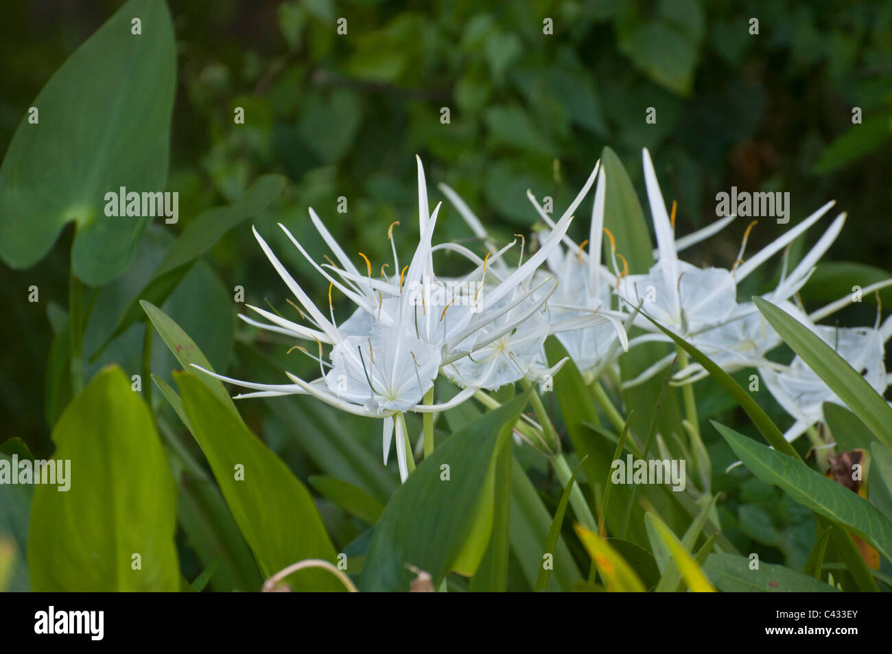 Spider lily flowering plants at wakulla springs state park near spider lily flowering plants at wakulla springs state park near tallahassee florida izmirmasajfo Image collections