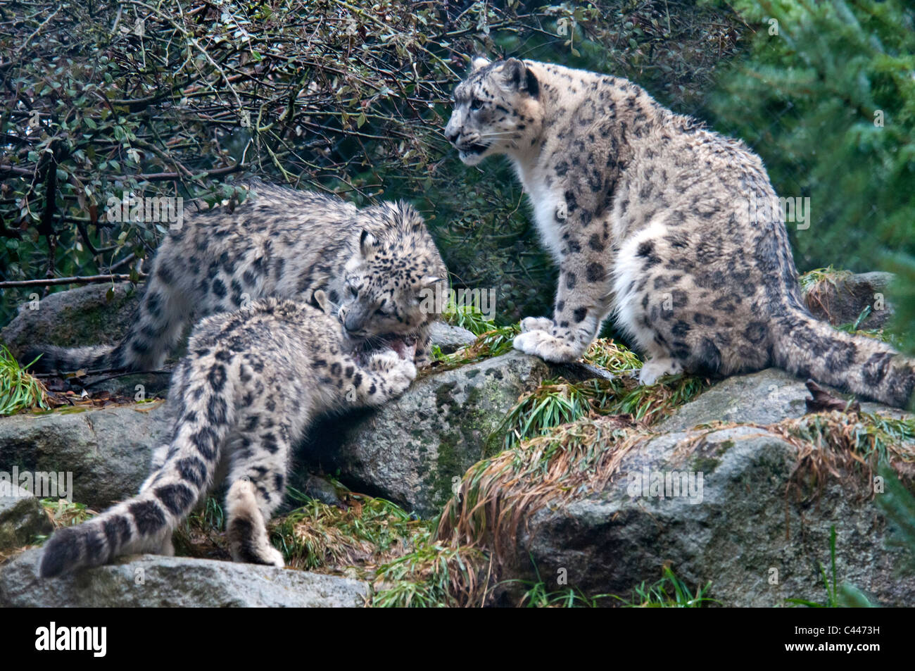 IRTI - funny picture #256 - tags: snow leopards tail mouth bites