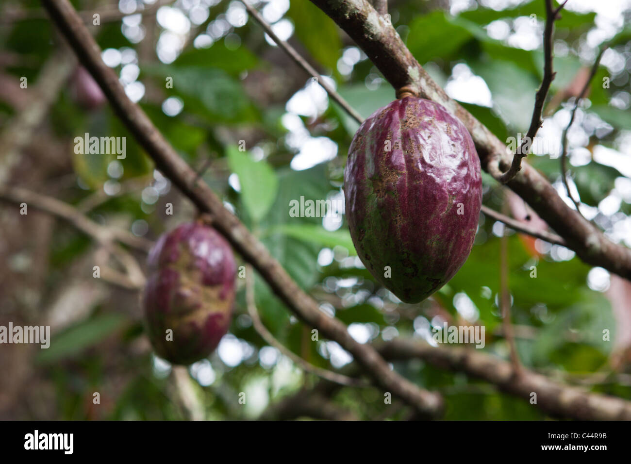 Fruit of cacao tree theobroma cacao los haitises national park fruit of cacao tree theobroma cacao los haitises national park dominican republic sciox Image collections