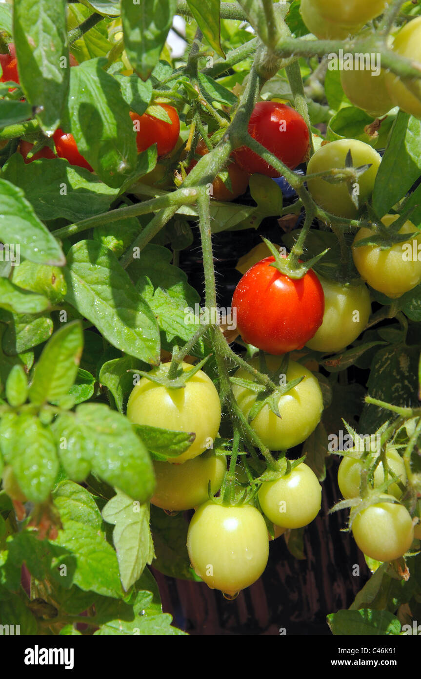 Growing cherry tomatoes in pots - Cherry Tomatoes Maskotka Ripening On The Plant Calypso Costa Del Sol