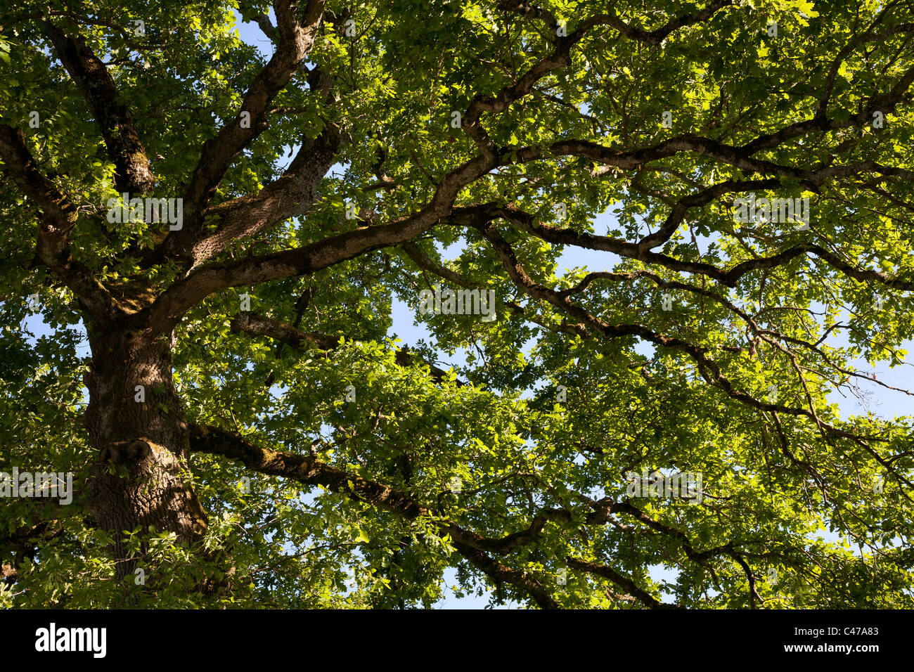 Oak tree canopy & Oak tree canopy Stock Photo: 37041091 - Alamy
