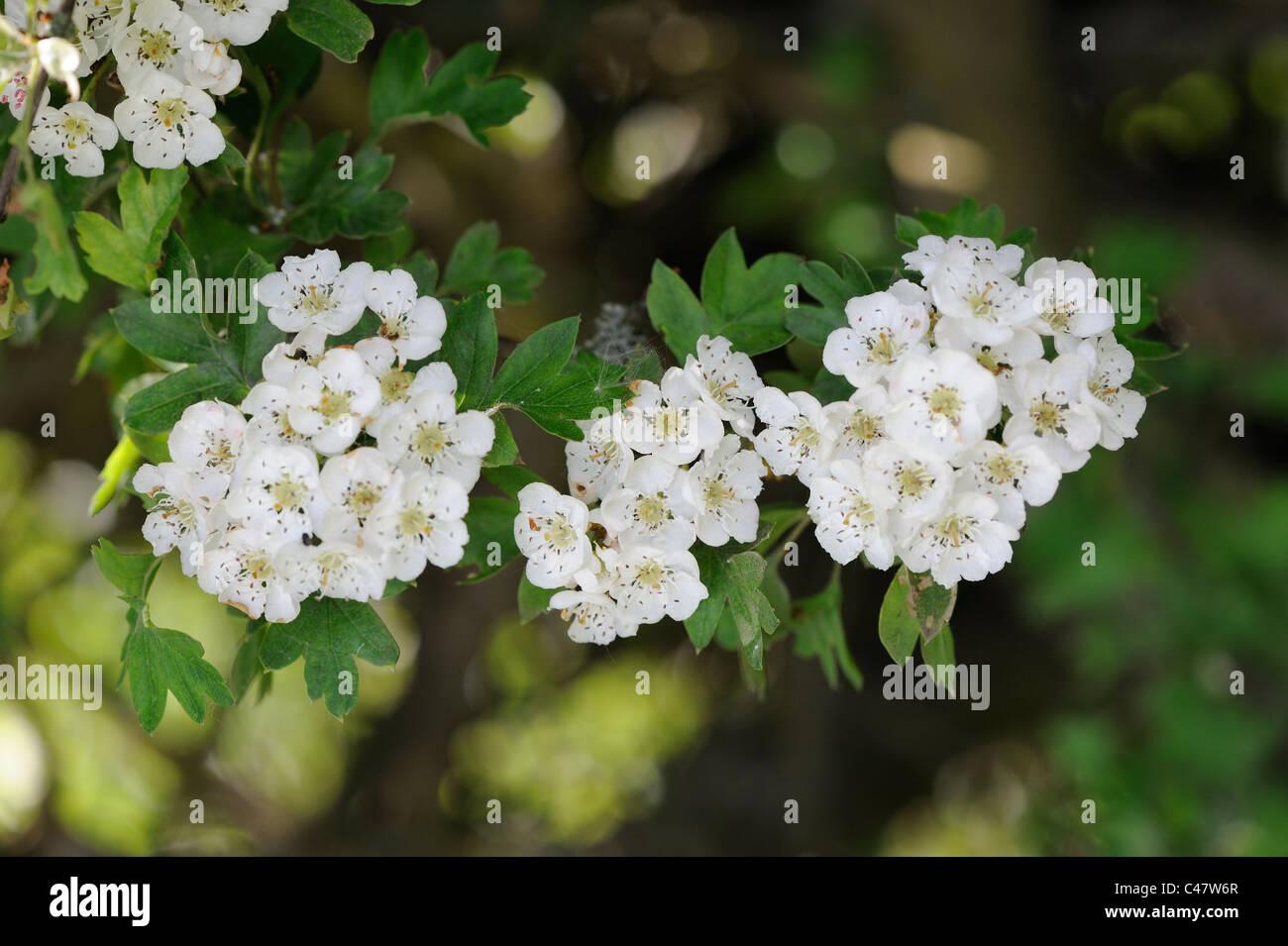 Hawthorn blossom crategus monogyna close up of flowers Norfolk Stock
