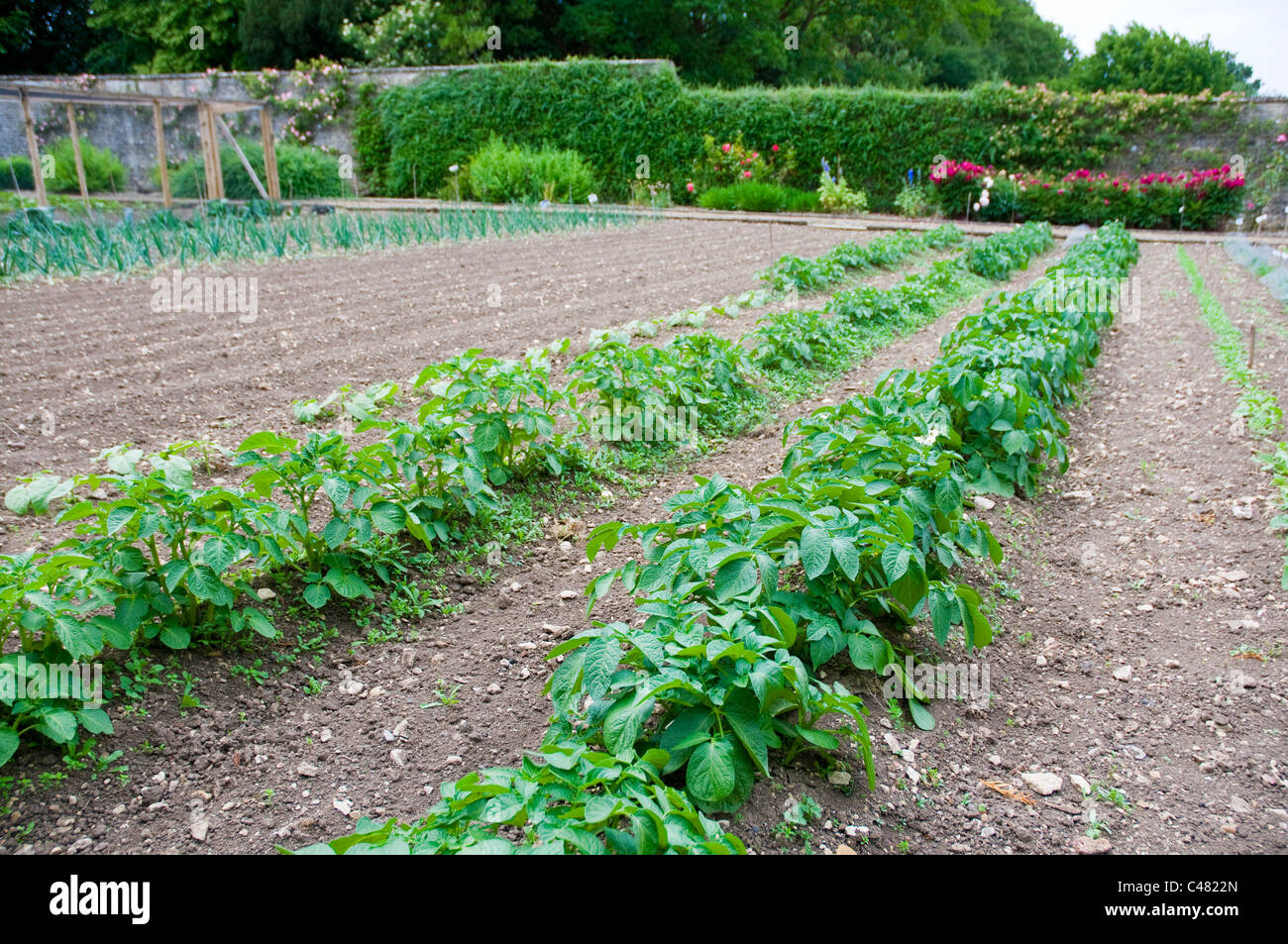 Vegetable garden rows - Two Straight Rows Of Potato Plants Growing In A Formal Vegetable Garden Stock Photo