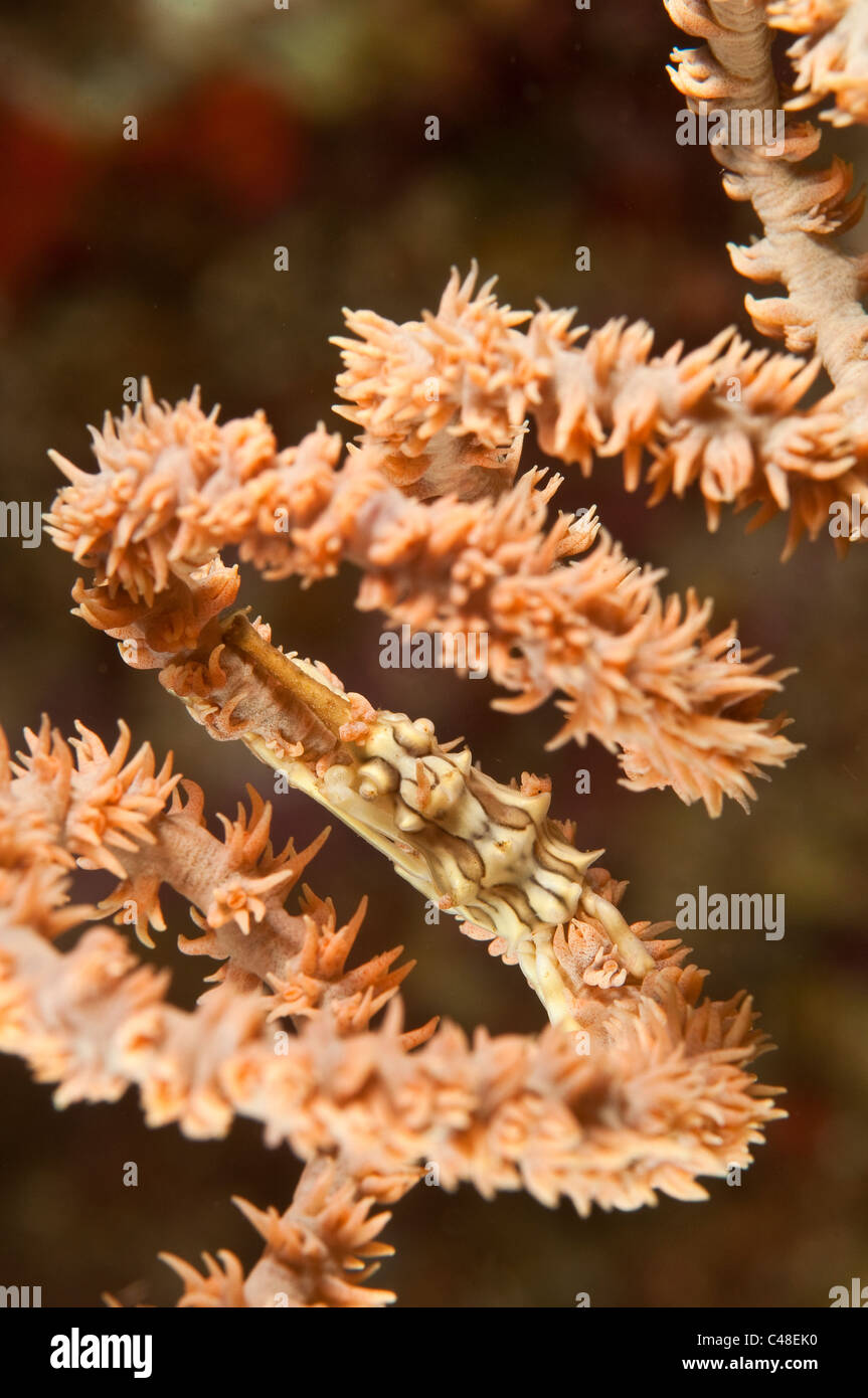 xeno crab on whip coral in lembeh straits indonesia stock image