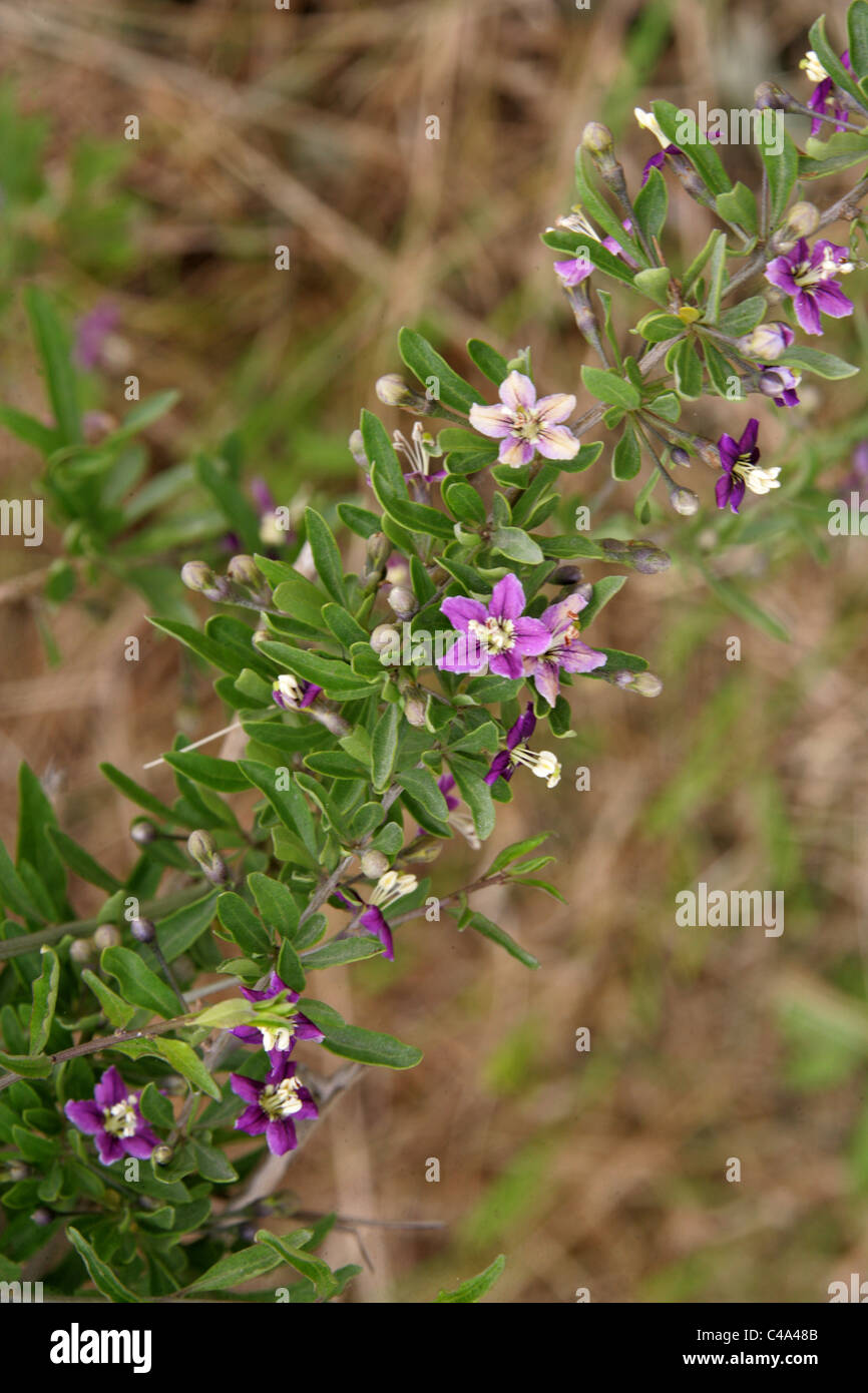Shrub with pink purple flowers growing in sand dunes titchwell shrub with pink purple flowers growing in sand dunes titchwell marsh norfolk uk dhlflorist Choice Image