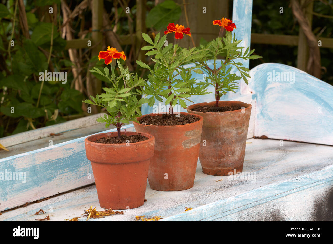 Tagetes French Marigolds in old terracotta flower pots Stock Photo