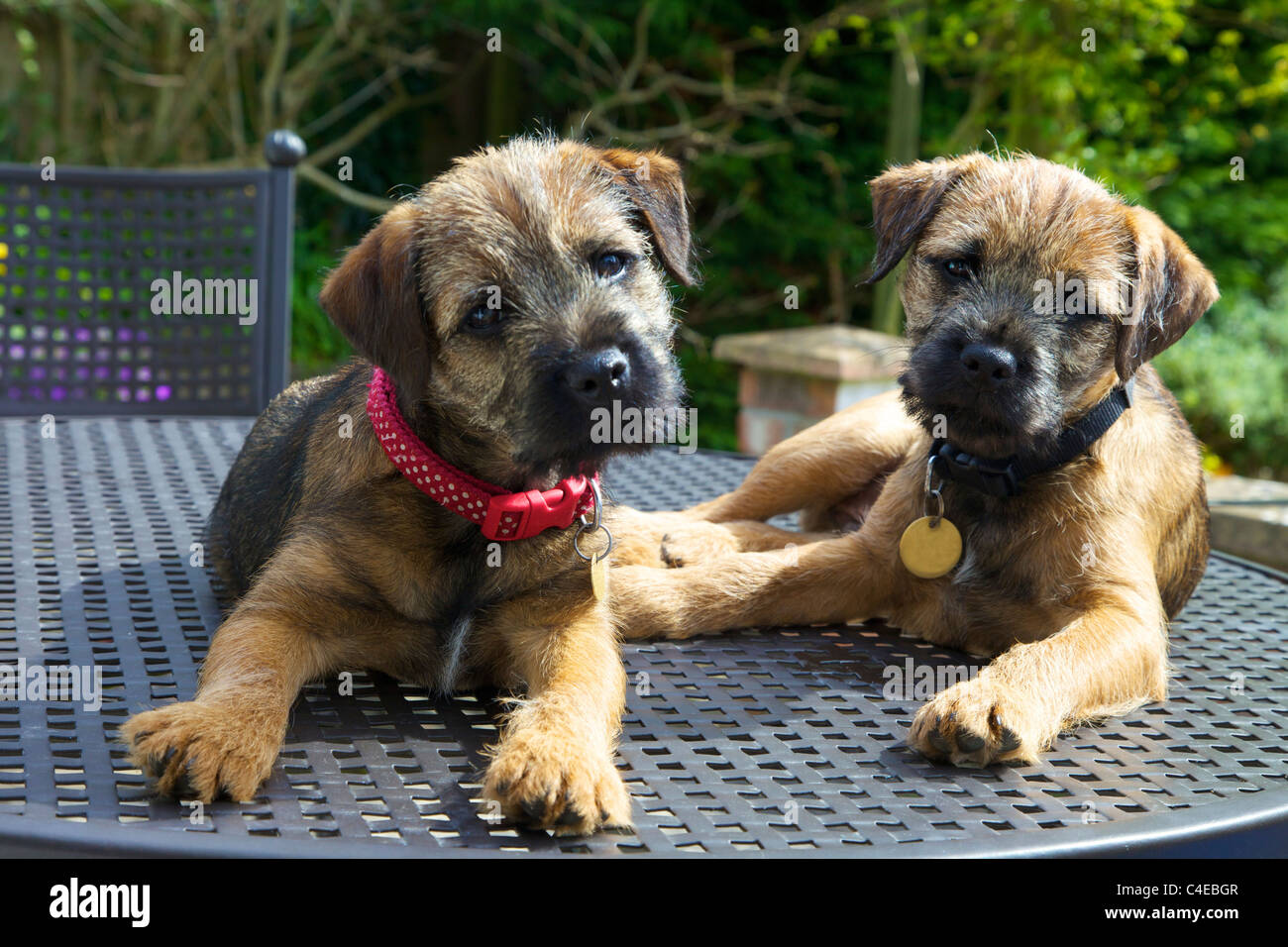 Border Terrier Stock Photos  | Border Terrier Puppies For Sale Cape Town