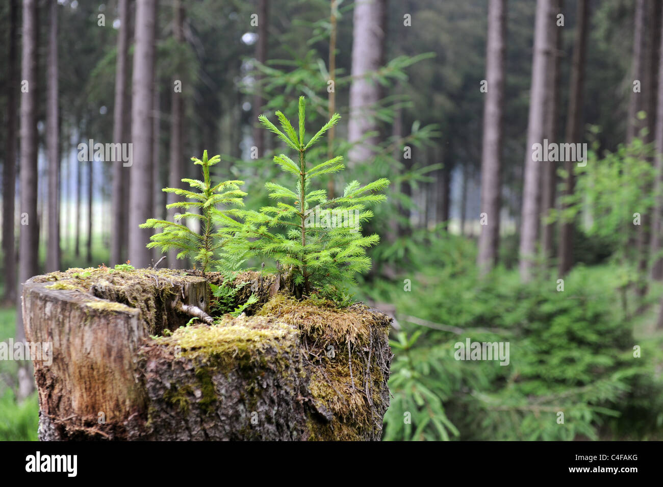 Young Spruce Tree Growing In The Rotting Stump Of Its