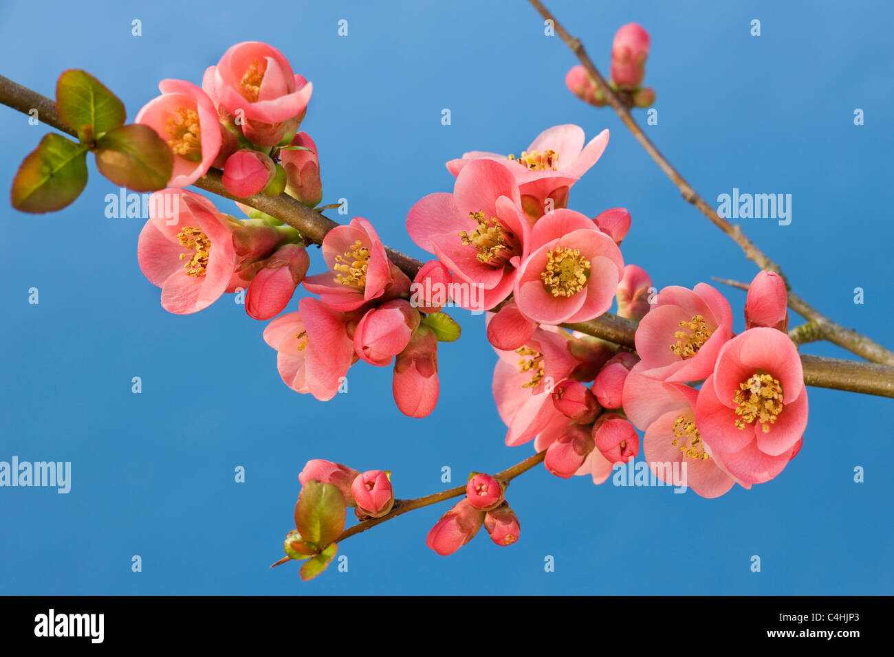 japanese quince chaenomeles japonica in flower stock image - Quince Flower