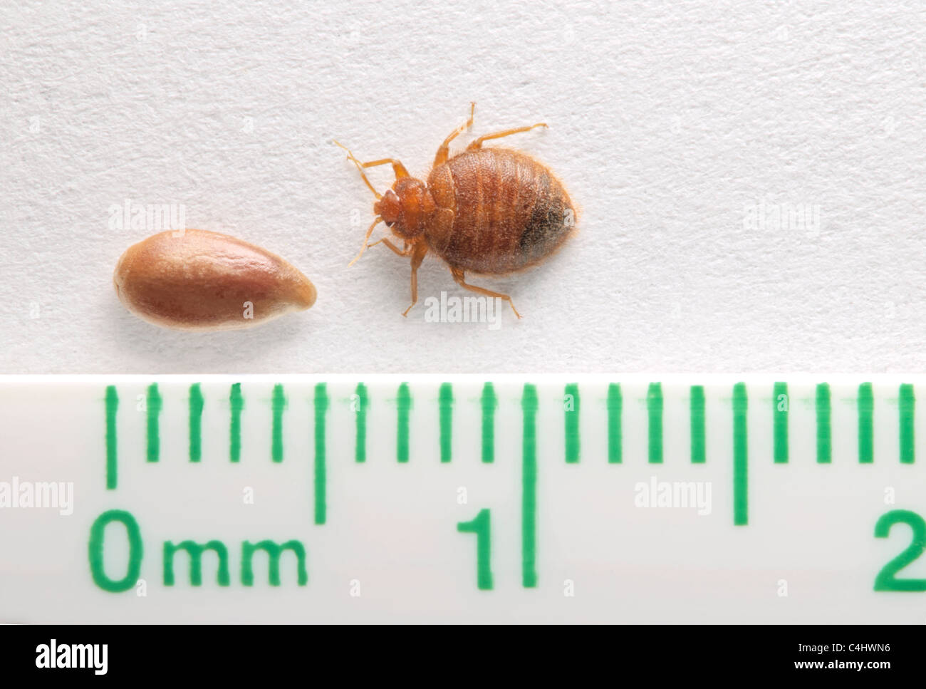 common adult bed bug- bedbug (cimex lectularius) compared to a