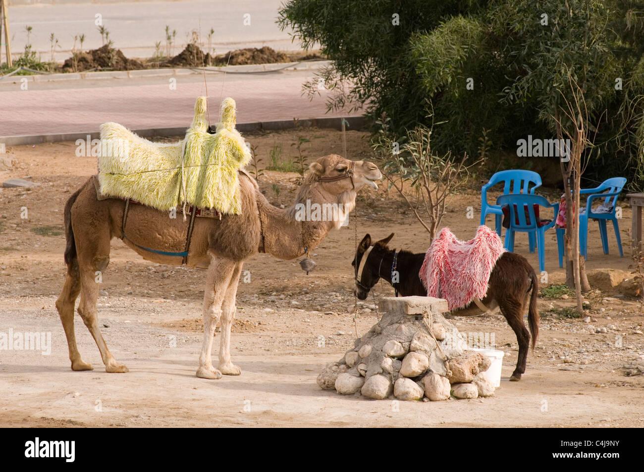 Camels Ass 79