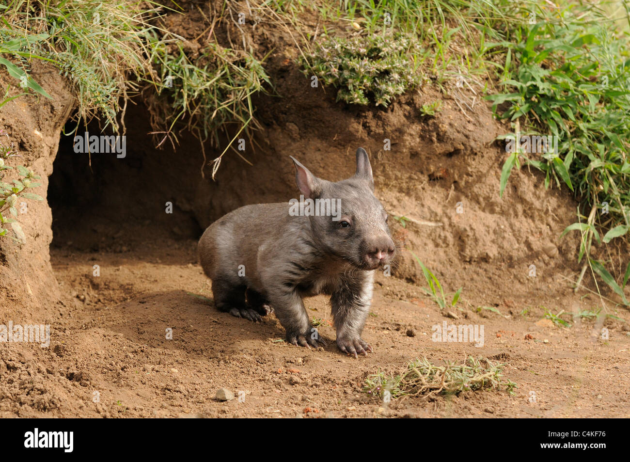 Southern hairy nosed wombat