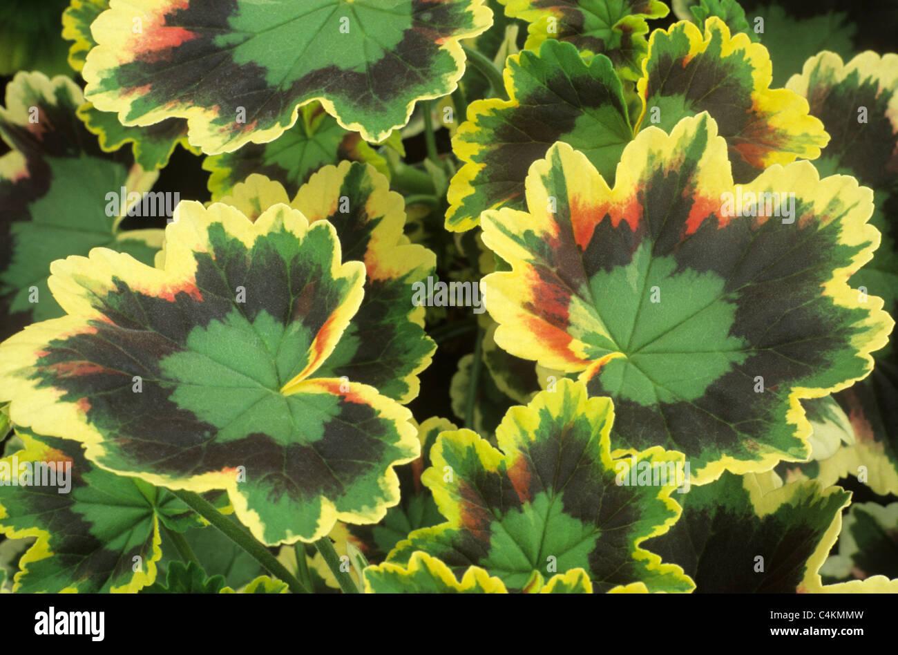Pelargonium 'Mrs. Pollock', zonal geranium geraniums ...