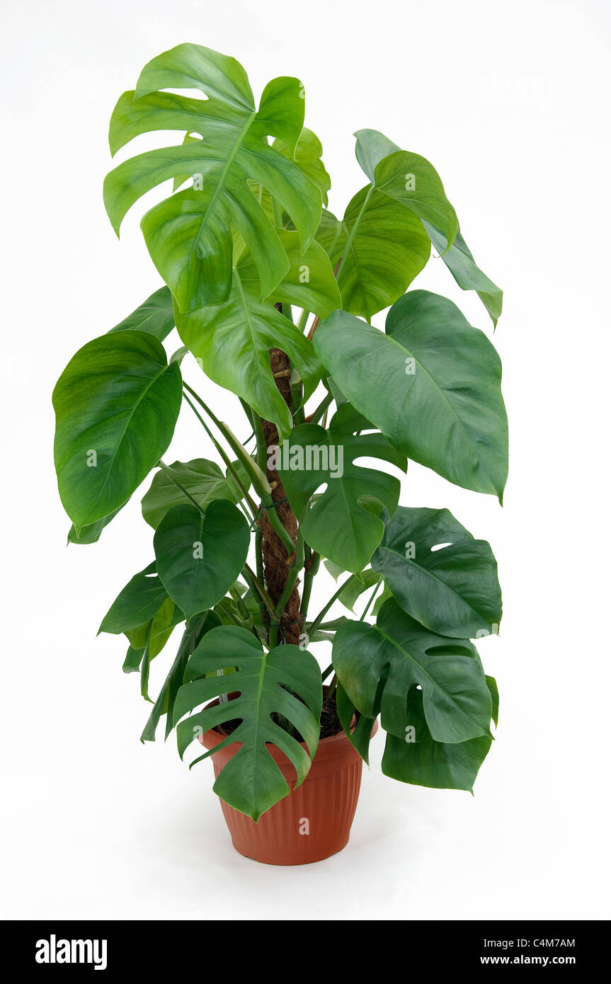 cheese plant monstera deliciosa potted plant studio picture against a white background