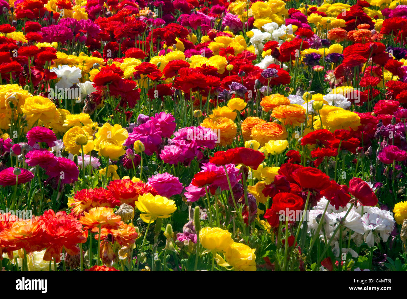 The Flower Fields at Carlsbad California USA Stock Royalty Free Imag