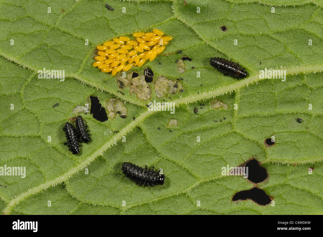 The first stage: eggs and larvae - Stagbeetle.info - Information ...